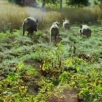 CIA-AGRICOLTORI: No a misure estensive del divieto di caccia al cinghiale